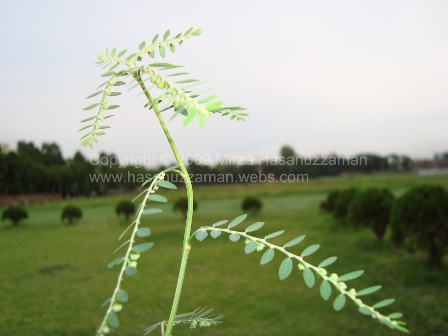 common weed of bangladesh Research advances of jute field weeds in bangladesh a review arpn published research advances of jute field weeds in growing fields of bangladesh common.